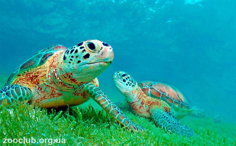 зеленая черепаха интересные факты
