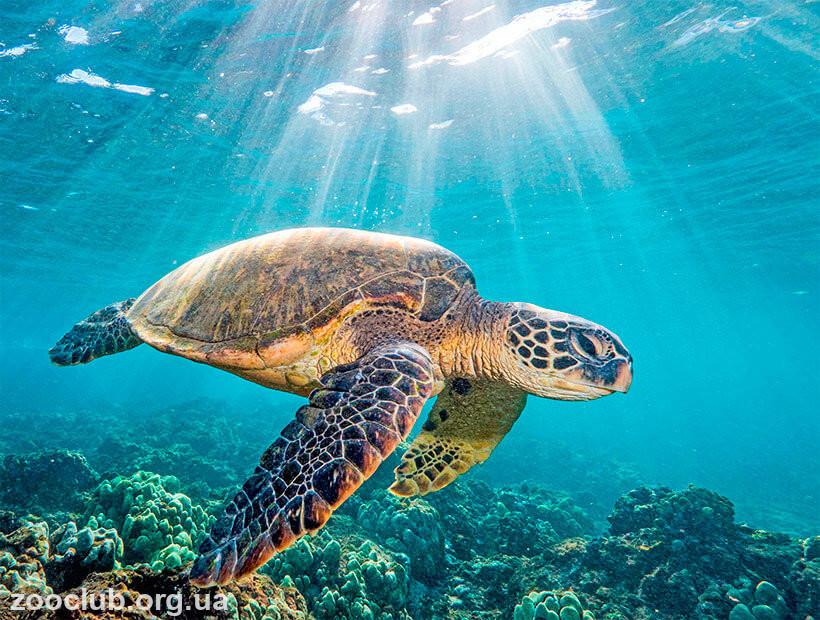 морская зеленая черепаха фото