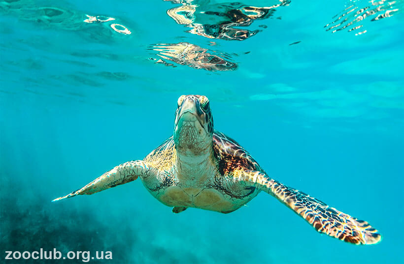 фото морской зеленой черепахи