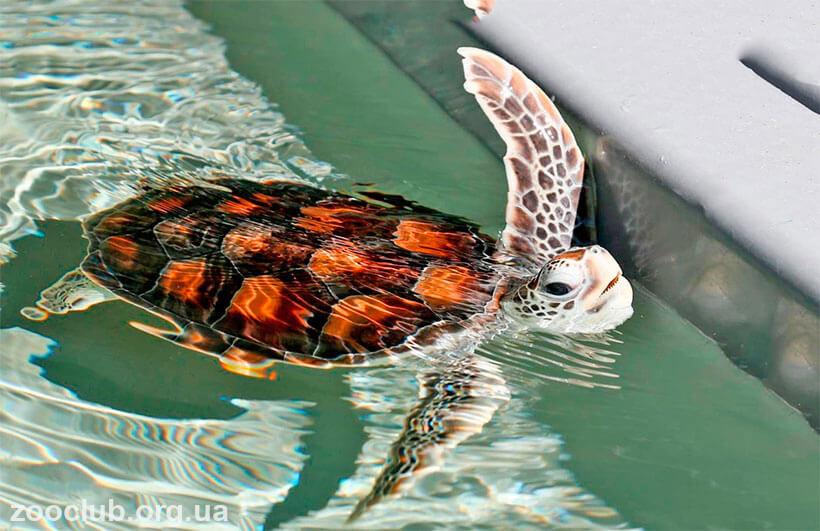 фото суповой черепахи