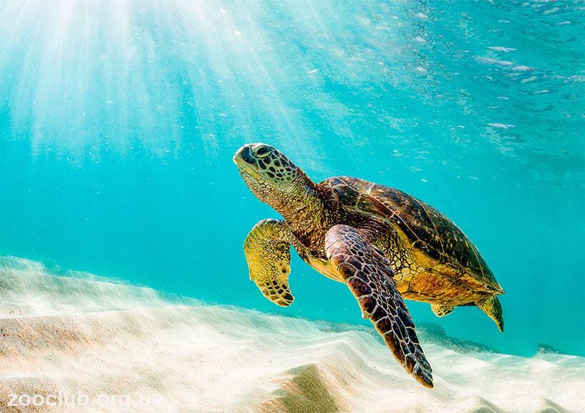 Суповая черепаха фото