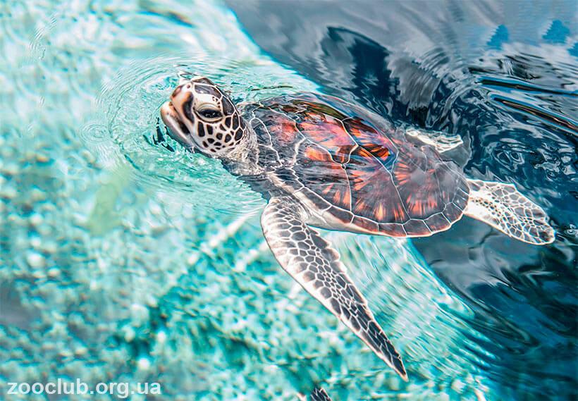 краткое сообщение о зелёной морской черепахе