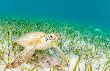 Суповая черепаха, или морская зеленая черепаха