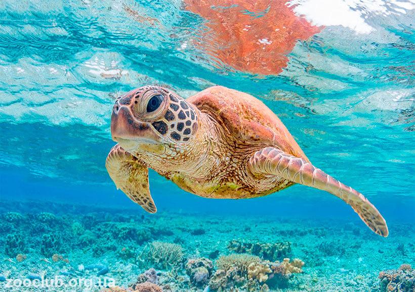 чем питается зелёная морская черепаха