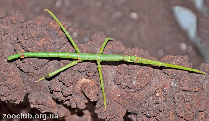 Phobaeticus serratipes