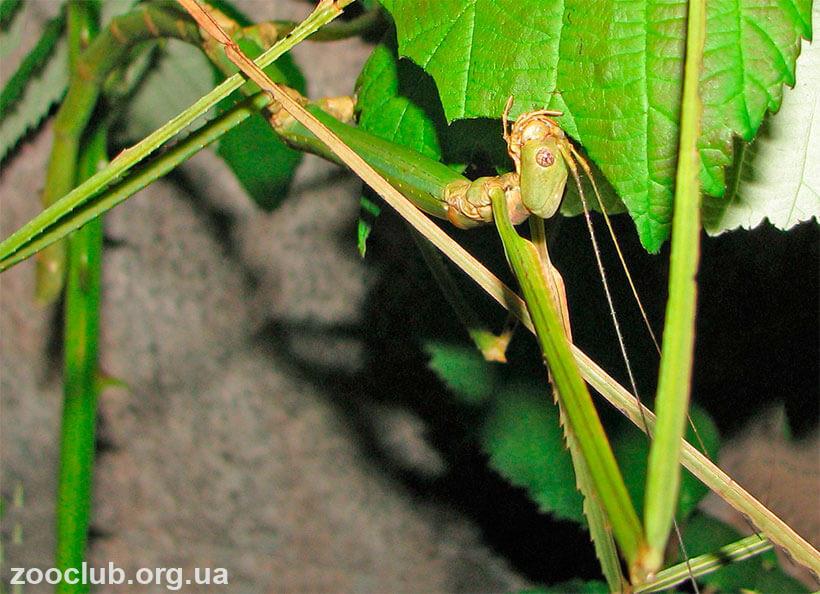 Phobaeticus serratipes картинка