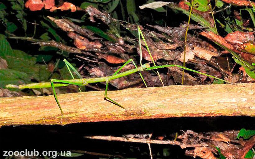 Phobaeticus serratipes фото