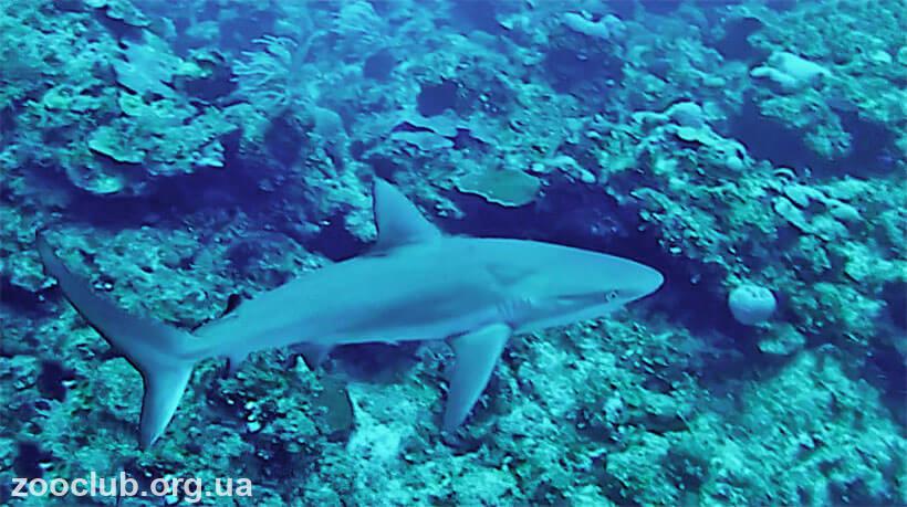 фото песочной акулы