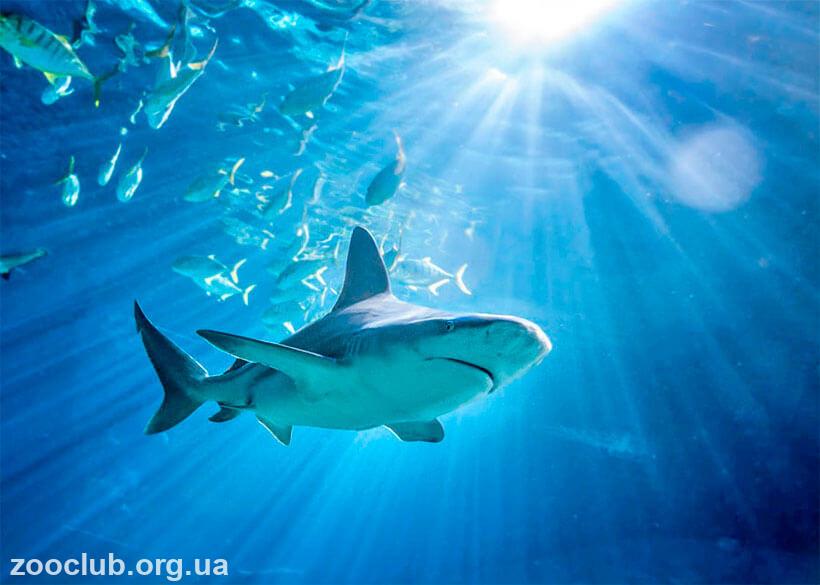 Средиземноморская серая акула фото