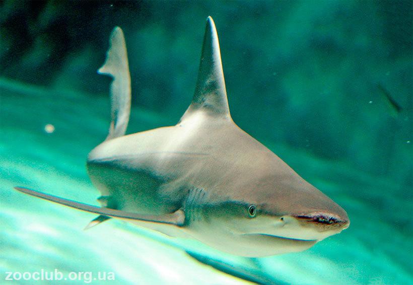 фото средиземноморской серой акулы