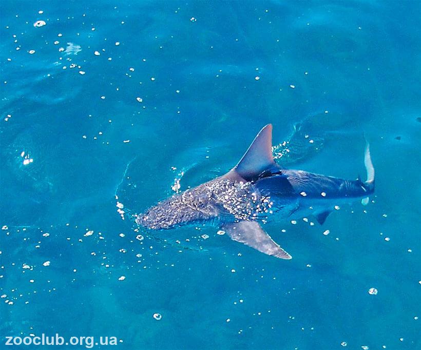 песочная акула фото