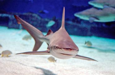 Средиземноморская серая акула, или песочная акула