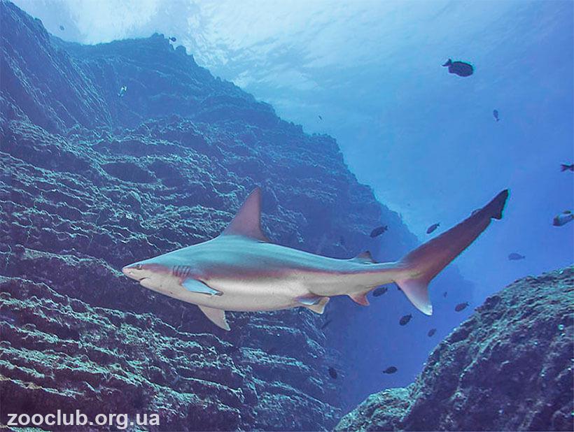 фото Carcharhinus plumbeus