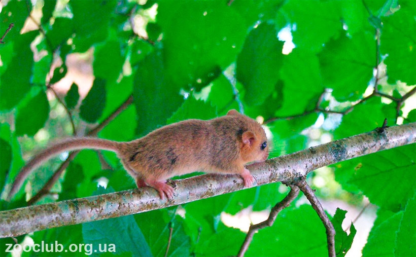 причины вымирания лесной сони