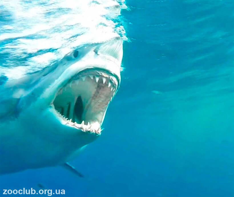 белая акула в черном море