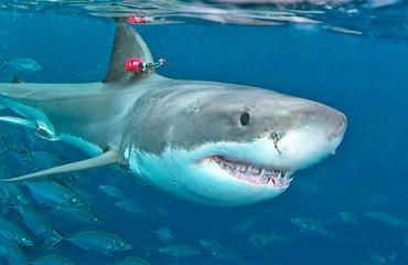 Большая белая акула, или кархародон