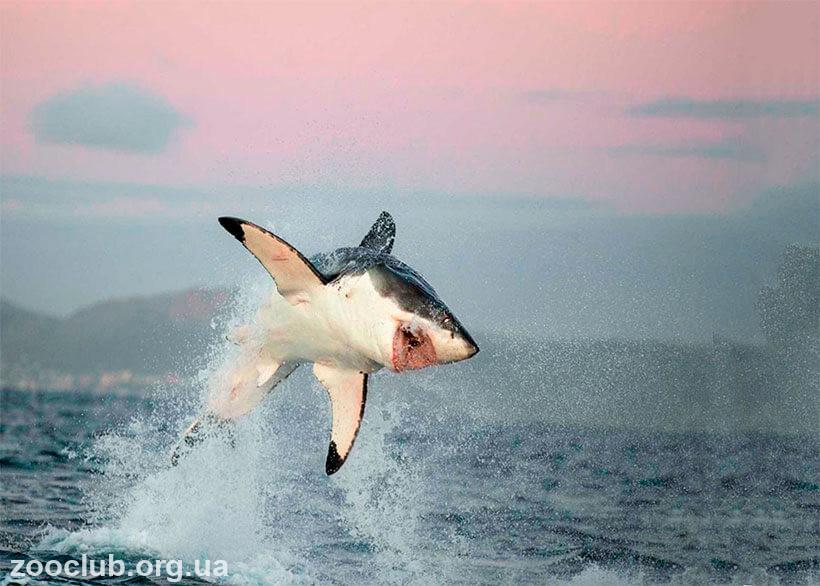 фото акулы большой белой