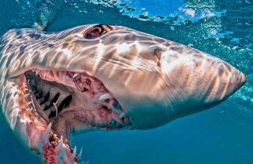 Акула-мако, или чернорылая акула