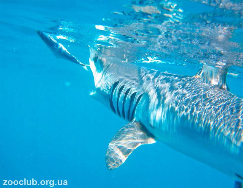 фото чернорылой акулы