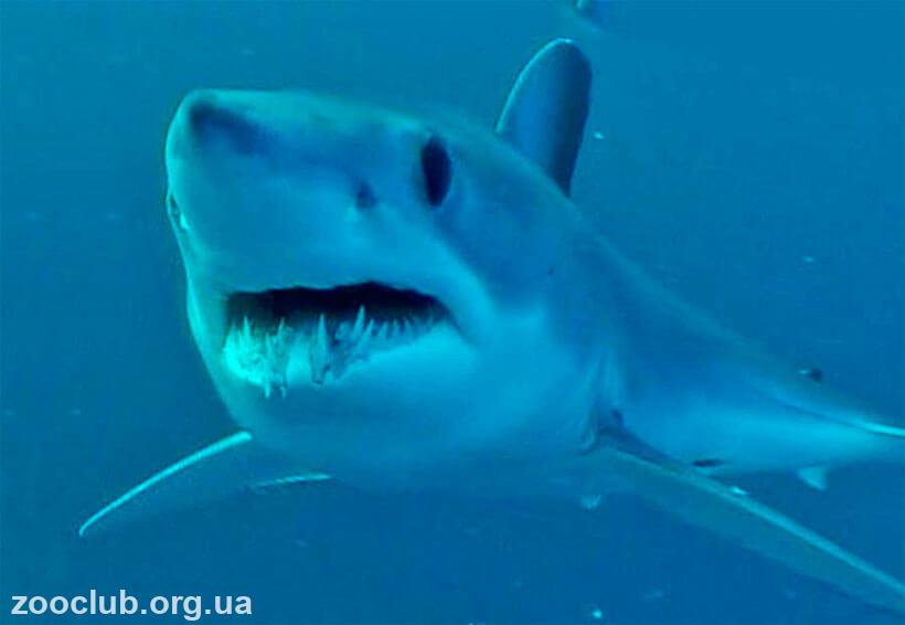 чернорылая акула фото