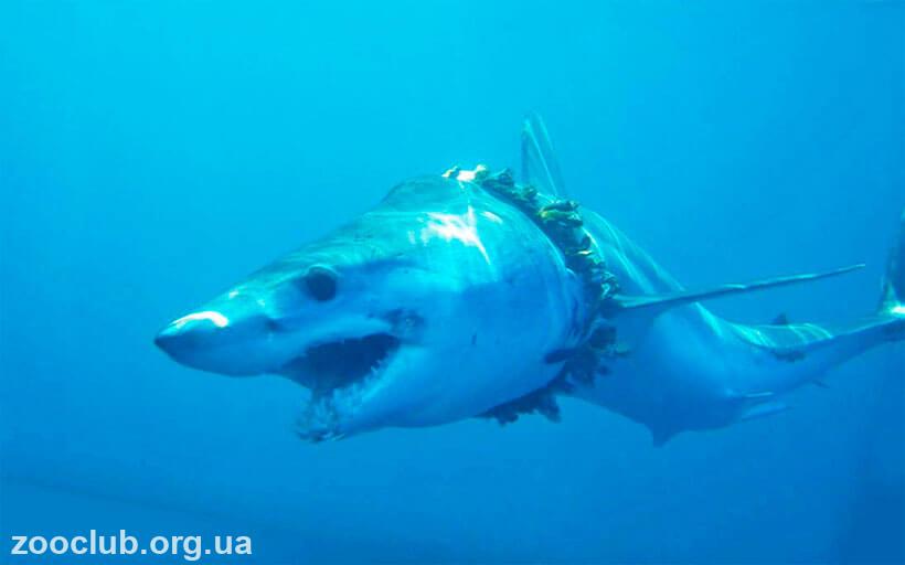 акула мако интересные факты
