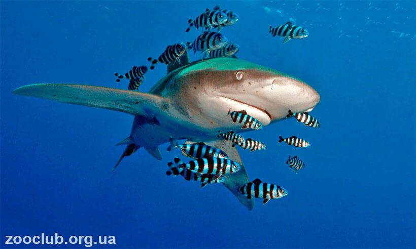 акула длиннокрылая