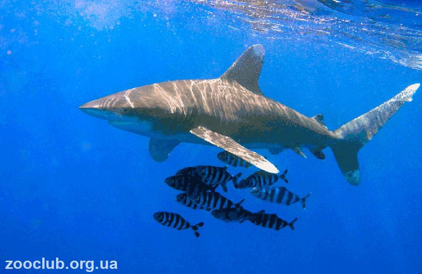 фото акулы длиннокрылой