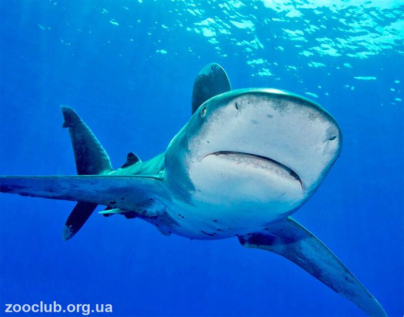 фото Carcharhinus longimanus