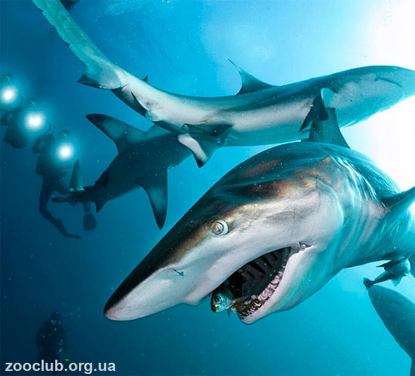 Длиннокрылая акула фото