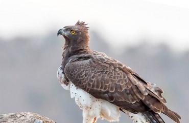Орел-боєць, або бойовий орел