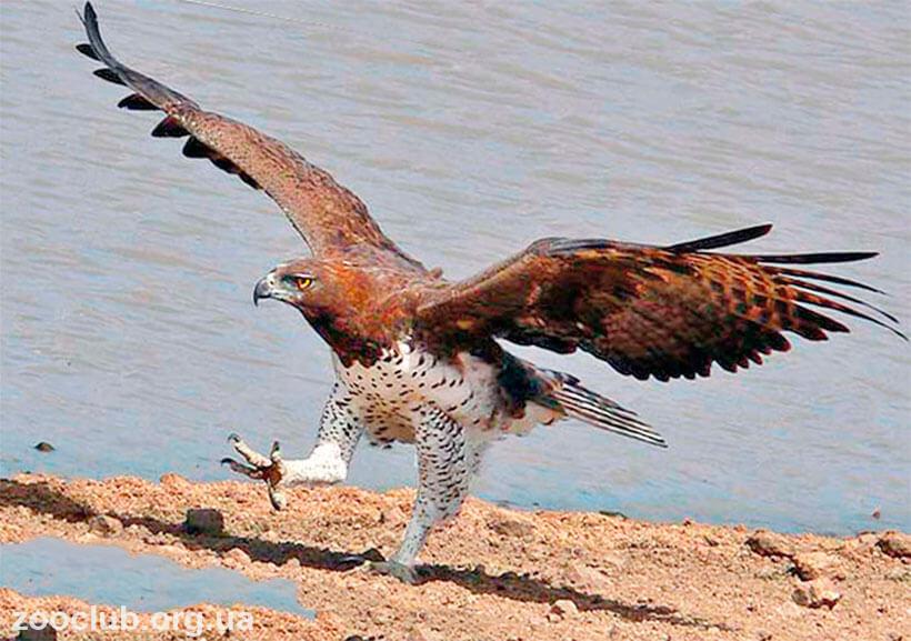 орел боевой
