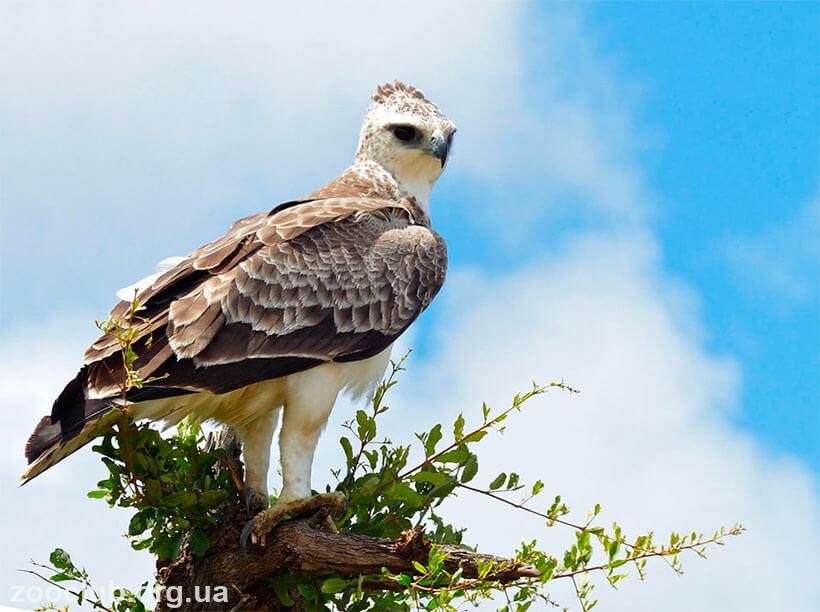 орел боевой фото