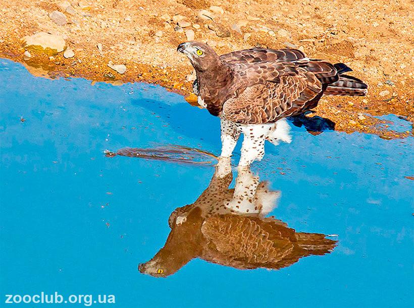 Боевой орел фото