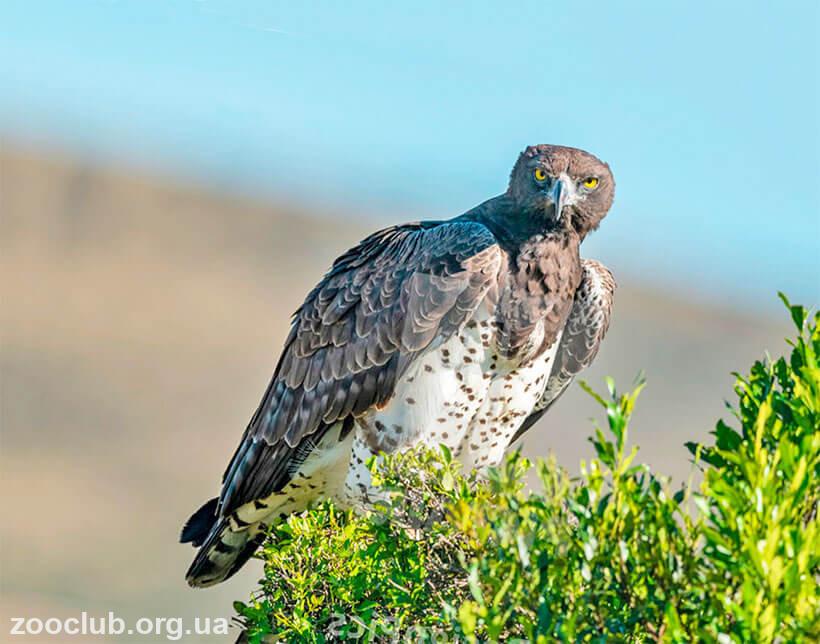 фото боевого орла