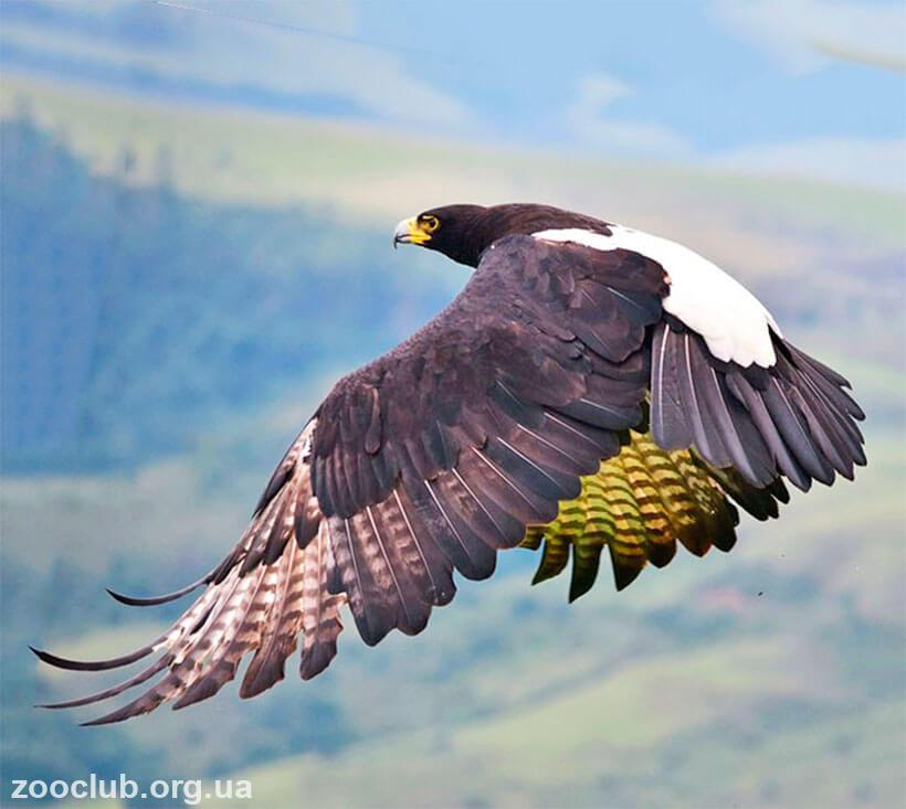 фото орла кафрского