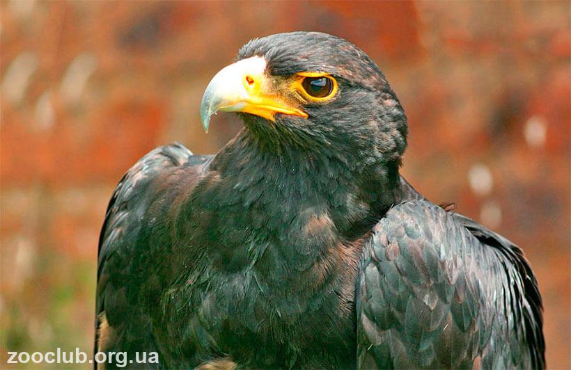 Кафрский орел фото