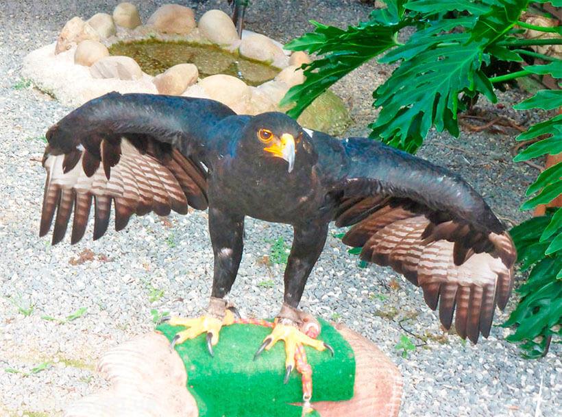 Фото кафрского орла