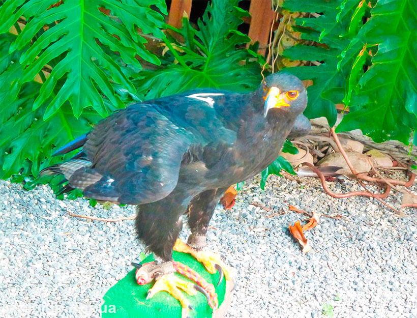 картинка орел кафрский