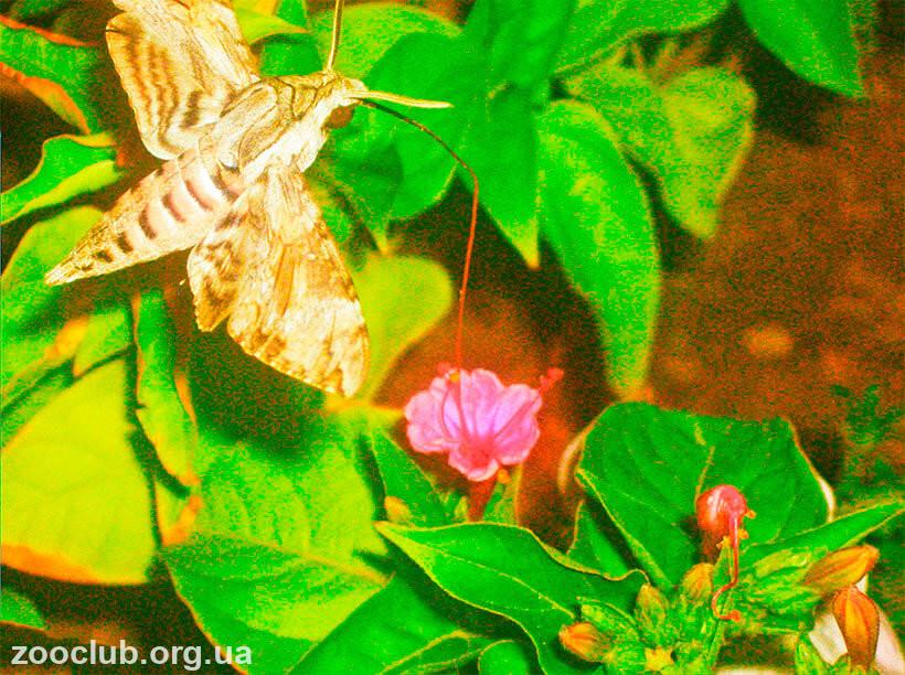 Фото бражника вьюнкового