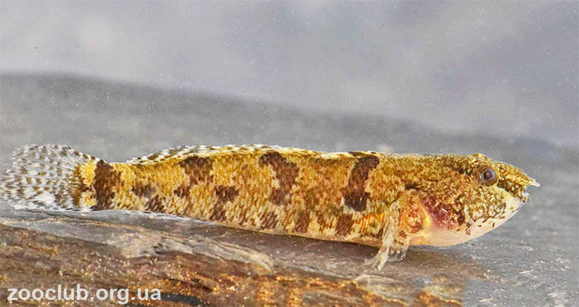 Proterorhinus marmoratus