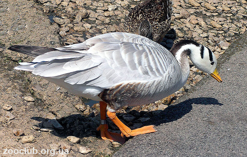 фото индийскогл гуся
