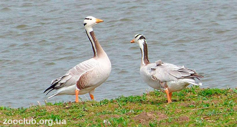 дикие гуси в природе