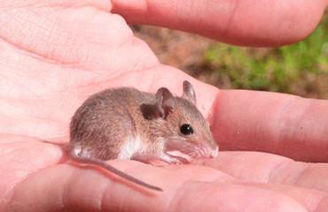 Африканська карликова миша