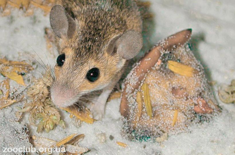 мышь африканская карликовая фото