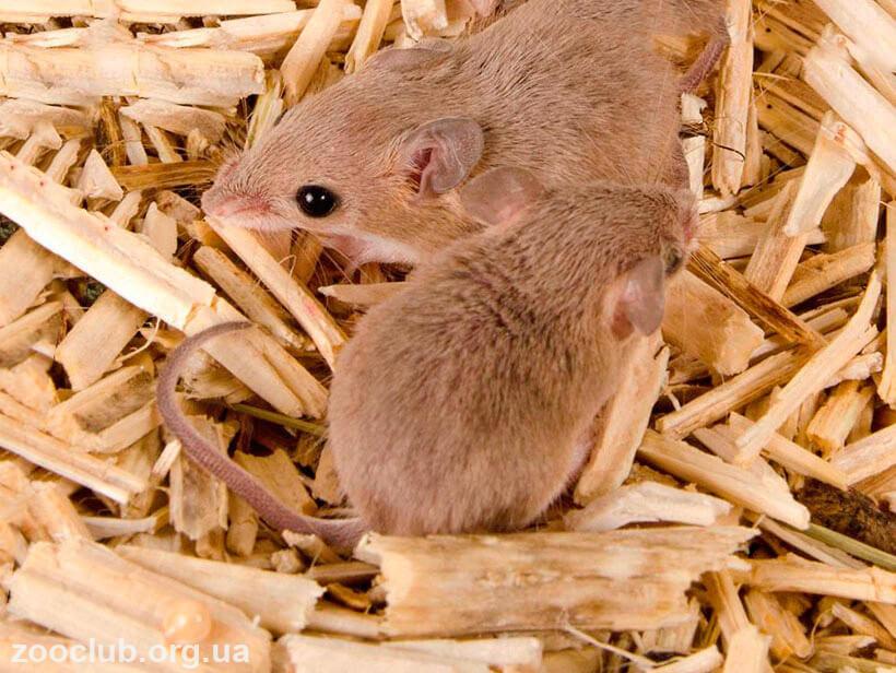Фото африканской карликовой мыши