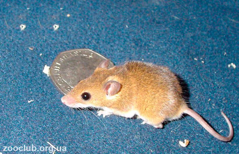 Африканская карликовая мышь фото