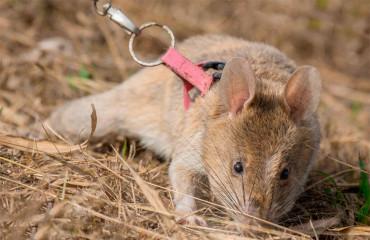 Гігантський гамбійський пацюк, або гамбійський сумчастий щур