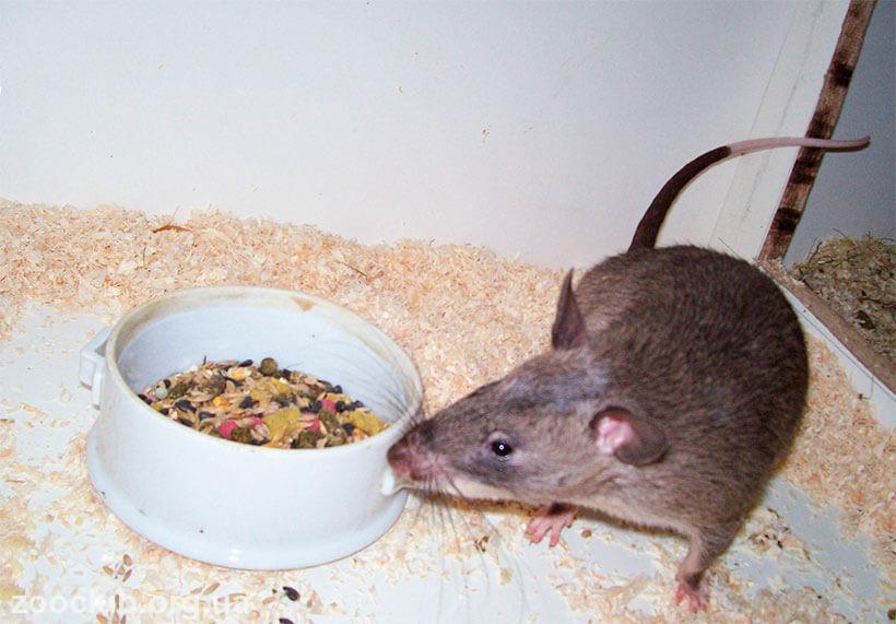 Фото крысы гамби