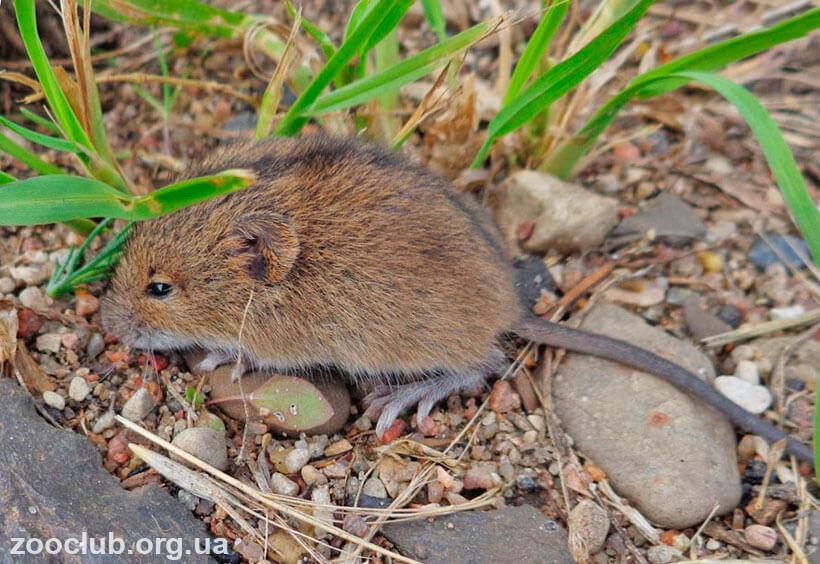 фото мышовки лесной