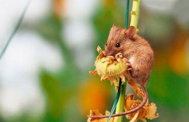 Мишівка лісова, або мишівка північна